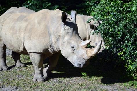 Walt Disney World, Animal Kingdom, Christmas 2013, White Rhino